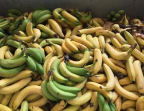 廃棄バナナ